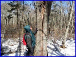 3/6/14  John, my hiking companion from Westerly, looks at the red oak Time Bomb